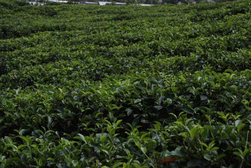 Pola herbaty na Sri Lance