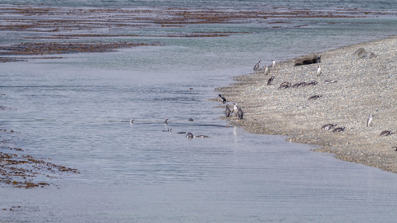 Pingwiny Kanał Beagle