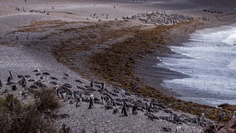 Punta Tombo pingwiny magellańskie kolonia